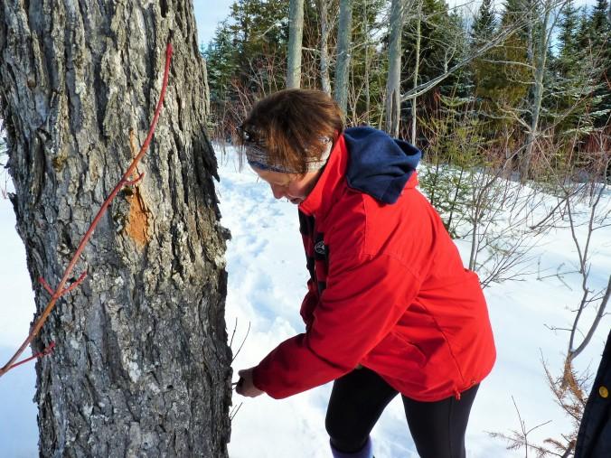 Baum anbohren und Tropftrichter einschlagen