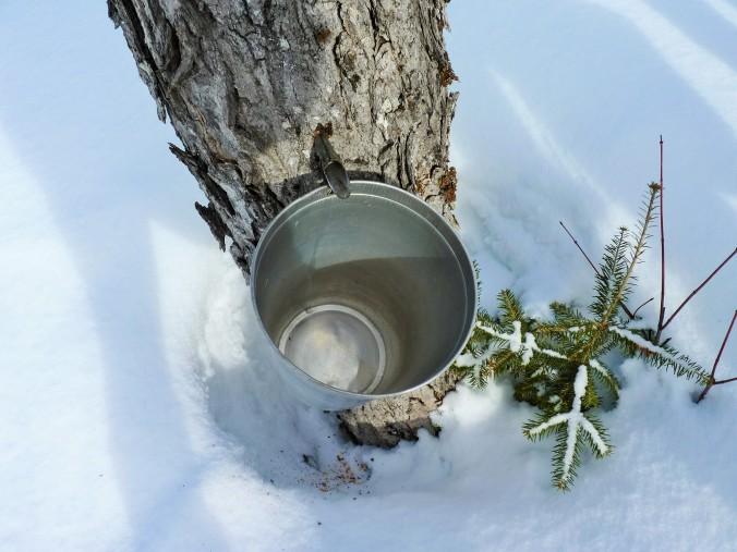 Ahornwasser tropft in die Eimer. Das passiert im Frühling, wenn die Nächte  noch kalt sind und die Sonne tagsüber den Saft in die Bäume bringt